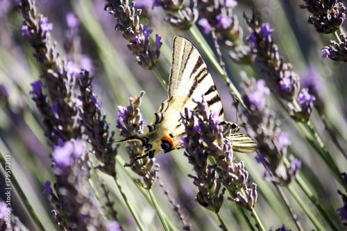 Fotobehang Lavendel Papillon Machaon qui butine sur la lavande
