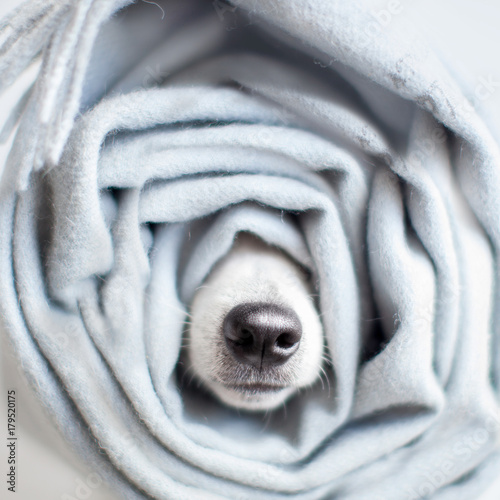 Jack Russel wrapped in a scarf