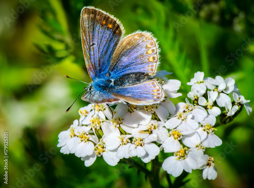 Fotobehang Vlinder blue butterfly on white flower with green background
