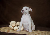 Little puppy American pit bull Terrier in Studio - 179528103
