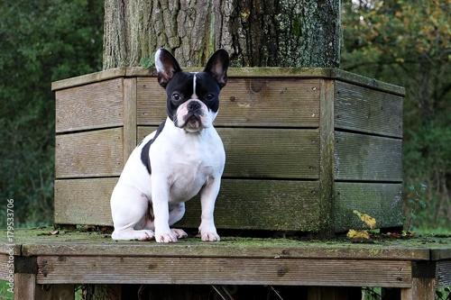 Deurstickers Franse bulldog Portrait einer französischen Bulldogge auf einer Bank