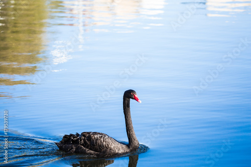 Fotobehang Zwaan Black Swan on the lake or in the pond. Blue sky reflected in the water.