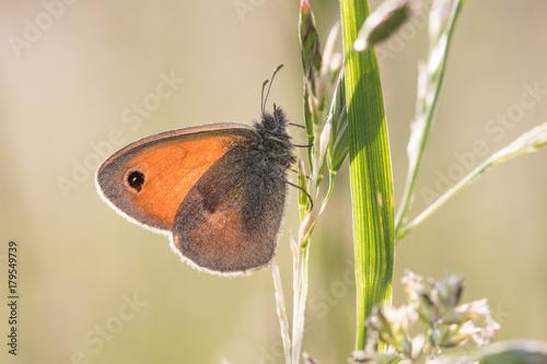 Fotobehang Vlinder Butterfly Small heath (Coenonympha pamphilus) on grass stalks