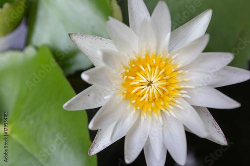 Close-up beautiful lotus flower, White lotus flower select focus blur or blurred Poster