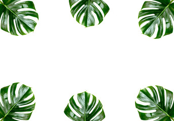 Tropical jungle Monstera leaves isolated