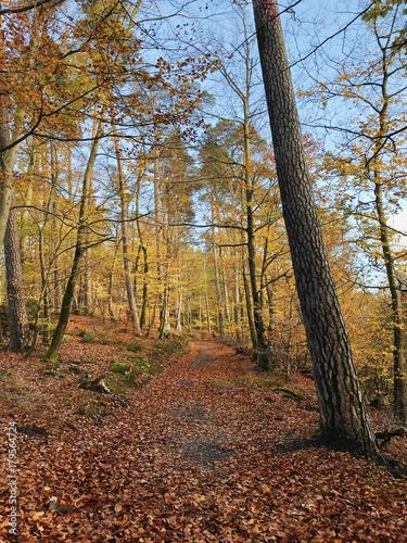 Papiers peints Automne Autumn natural fir forest in Rheinland Pfalz