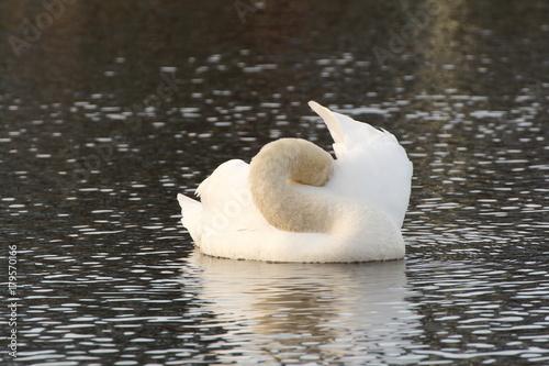Fotobehang Zwaan Schwan ruhend auf dem See