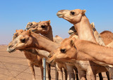 Camels on the farm