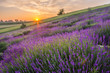 Blooming lavender fields in Poland, beautfiul sunrise