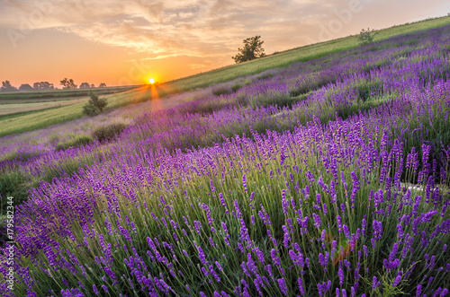 Fototapety, obrazy : Blooming lavender fields in Poland, beautfiul sunrise