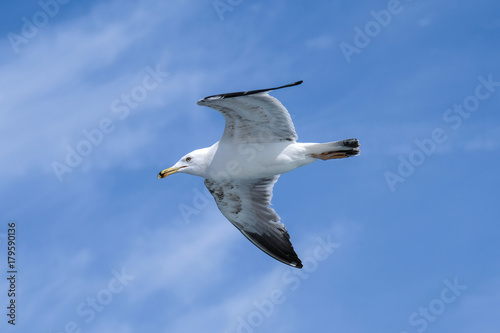 Freedom Seagull Flying on Air Poster