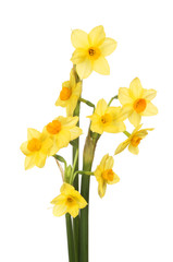 Bunch of narcissus flowers
