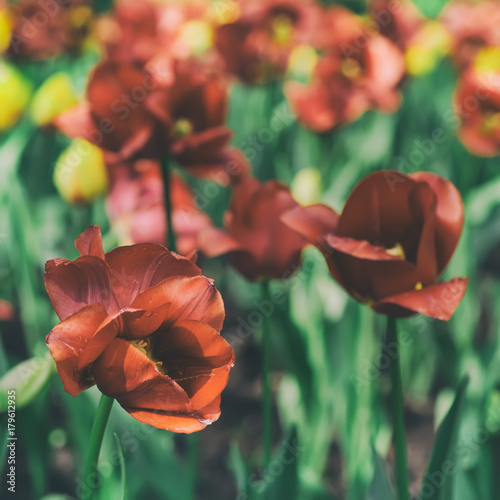 Fotobehang Tulpen Red beautiful tulips field in spring time, seasonal natural floral vintage hipster background