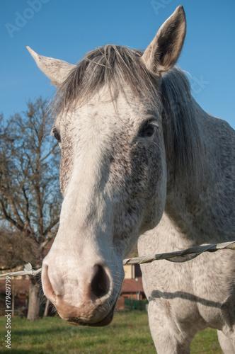 portrait de cheval gris dans une prairie
