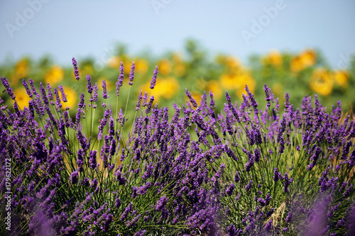 Foto op Canvas Lavendel Beautiful lavender flower in Provence