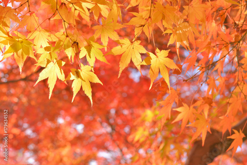 Fotobehang Koraal モミジの紅葉
