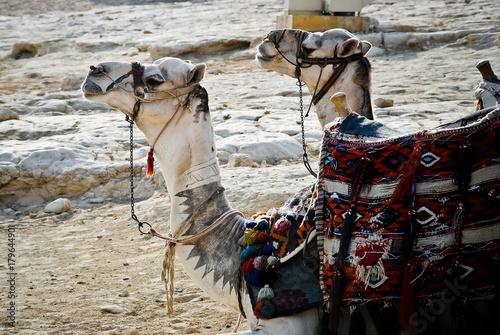 Fotobehang Kameel Camels at rest