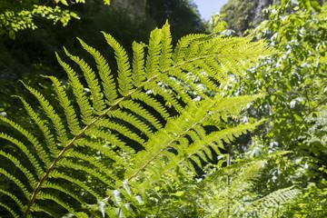 Great fern in mountain forest
