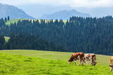 Cows eating grass in Xinjiang