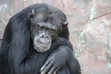 Portrait of a sad chimpanzee