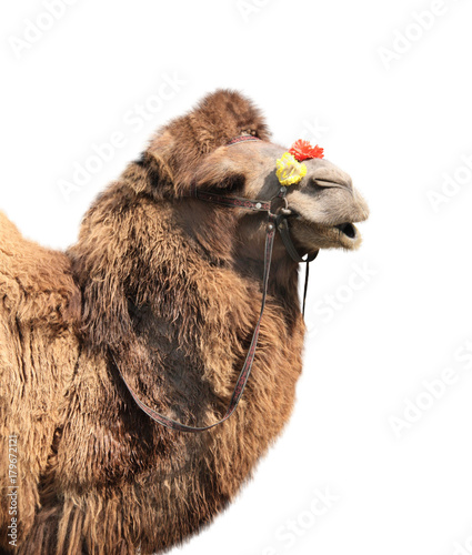 Fotobehang Kameel Bactrian camel (Camelus bactrianus)