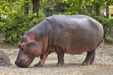 hippopotamus - 179682938