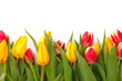 Tulips with white background