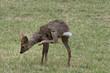 European Roe deer buck  scratching