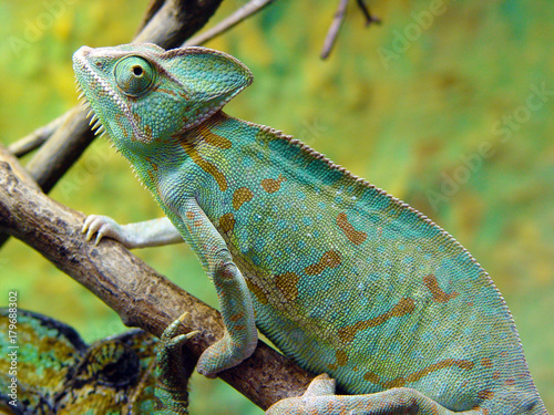 Fotobehang Kameleon zmiana barwy