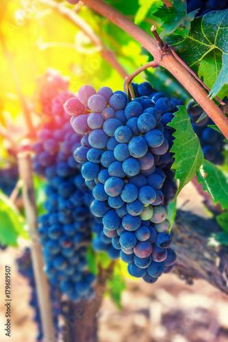 Fotobehang Wijngaard Blue grapes in vineyard. Natural food.