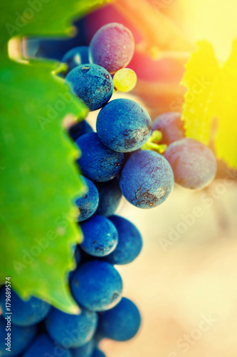 Poster Zwavel geel Blue grapes in vineyard. Natural food.