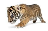 Sumatran Tiger cub, Panthera tigris sumatrae, 3 weeks old, walking in front of white background