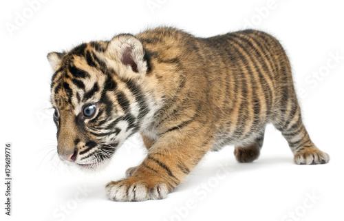 Obraz Sumatran Tiger cub, Panthera tigris sumatrae, 3 weeks old, walking in front of white background