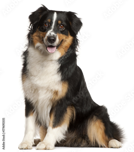 Poster Miniature Australian Shepherd, 2 years old, sitting in front of white background