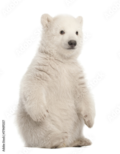 Fotobehang Ijsbeer Polar bear cub, Ursus maritimus, 3 months old, sitting against white background