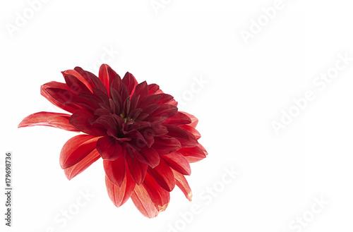 Fotobehang Gerbera Margarita roja aislada