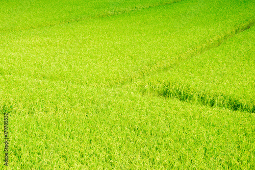 Poster Lime groen rice in paddy