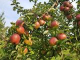 Otterndorfer Prinz, Hadelner Prinz, Alte Apfelsorten