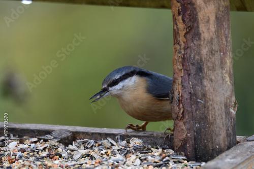 Foto op Plexiglas Natuur Nuthatch titmouse eats seeds in the fodder rack