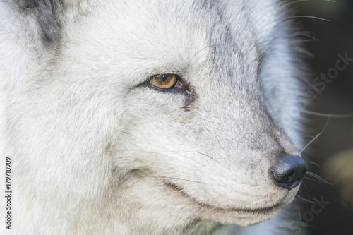 arctic fox close up portrait detail of face, flighting Poster