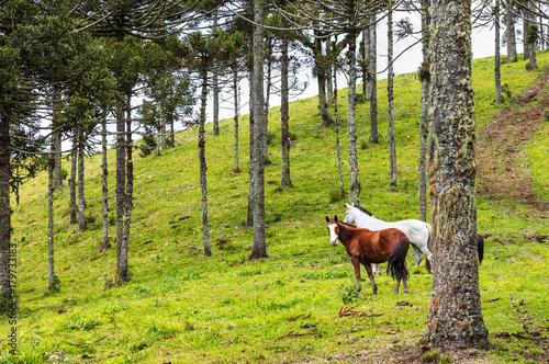 Cavalos no pasto. Poster
