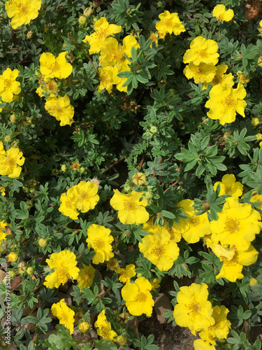 Yellow flowers of the potentilla plant buy photos ap images yellow flowers of the potentilla plant mightylinksfo