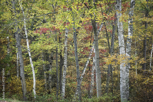 Papiers peints Automne Birch and maple trees combine to create a blend of autumn tones in Northern Highlands American Legion State Forest in norther Wisconsin.