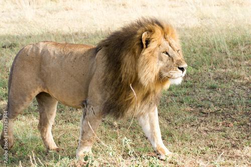 Fotobehang Lion Löwen Afrika Serengeti