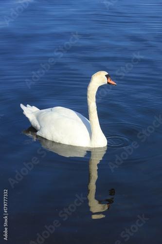 Fotobehang Zwaan A Single swan