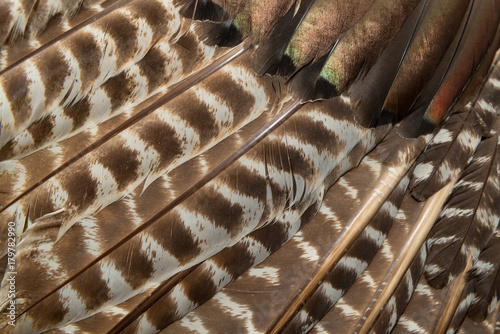 Fotobehang Natuur Wild eastern turkey feathers close up background texture