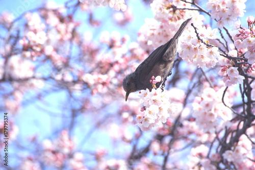 Fotobehang Lichtroze 春イメージ(染井吉野とヒヨドリ)