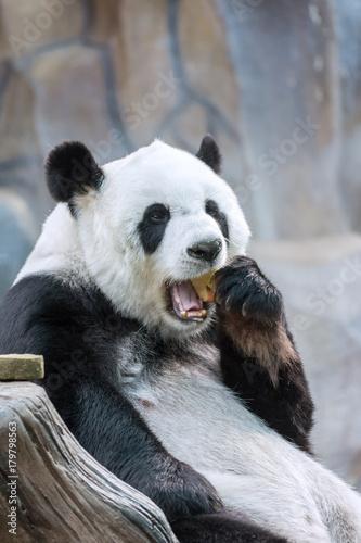 Fotobehang Panda Panda Eating Red Apple in Mouth.