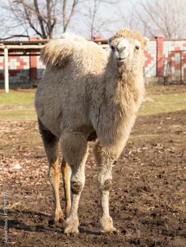 Fotobehang Kameel Camel on the nature autumn