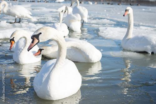 Fotobehang Zwaan Swan on frozen home